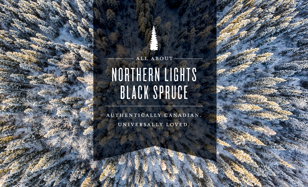 northern lights black spruce oil featured image