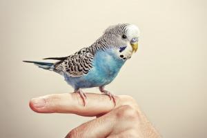 Blauwe, witte en zwarte vogel op een vinger