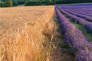 """Einkorn kviečių ir levandų laukai """"Young Living"""" Simiane-la-Rotonde Lavender ūkyje Provanso regione"""
