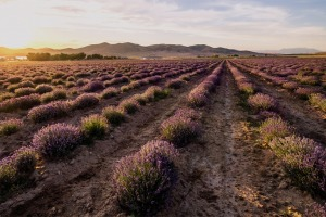 Young Living Lavender Farm Fields
