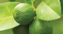 Jade Lemon
