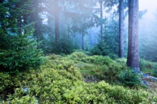 Essential Oil Spotlight: Blue Cypress - Young Living Blog