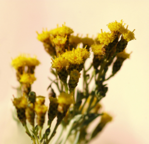 ... helichrysum. We have started growing the world's first cultivated