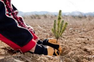 Idaho Balsam Fir Tree- Young Living