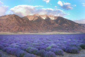 Mona, Utah - Young Living Lavender Farm