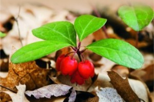 Wintergreen Berries