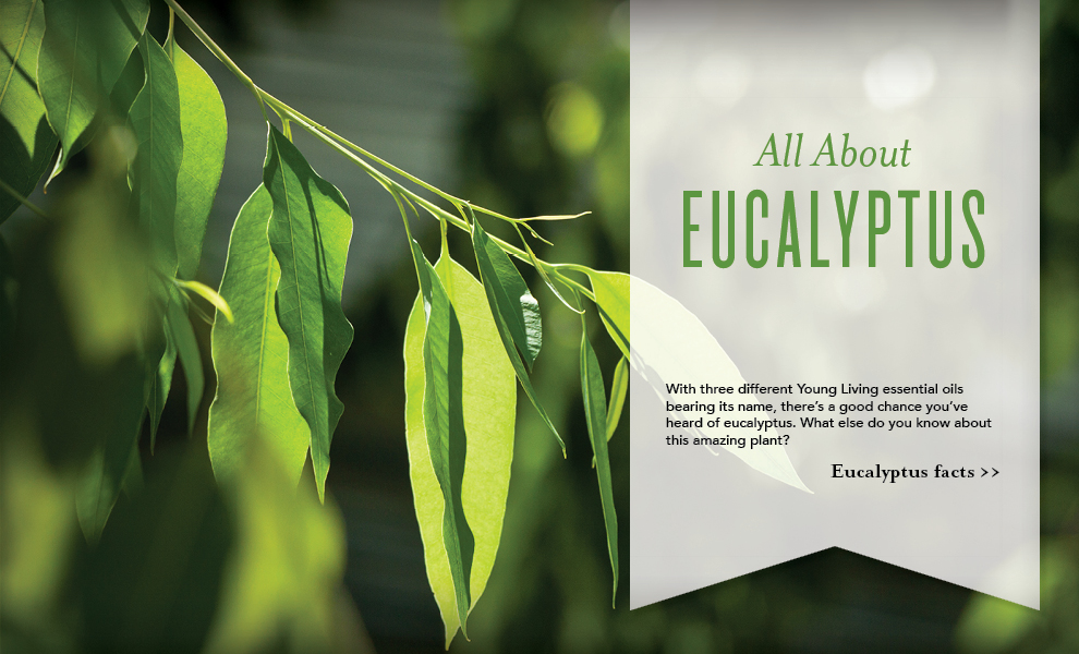 Eucalyptus Essential Oil - Young Living