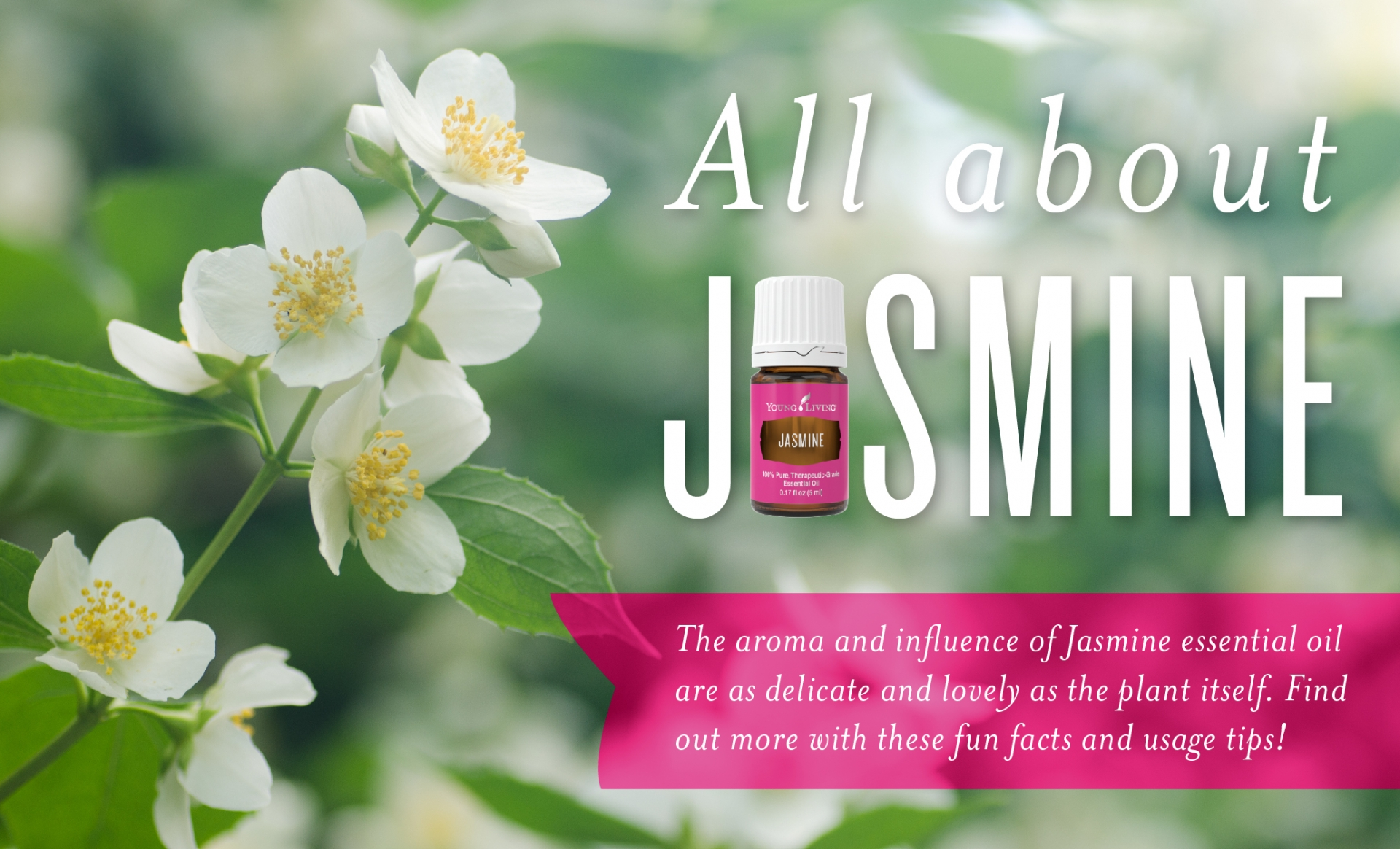 How to use jasmine essential oil young living blog view larger image all about jasmine header izmirmasajfo