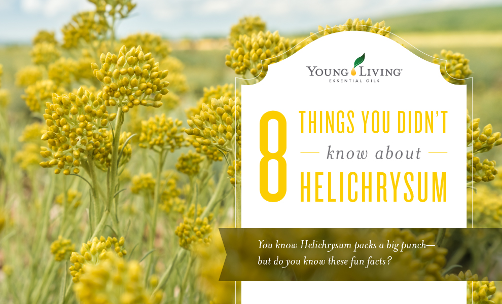 8 Things You Didnu0027t Know About Helichrysum Essential Oil | Helichrysum Oil  Benefits And Uses | Young Living Blog