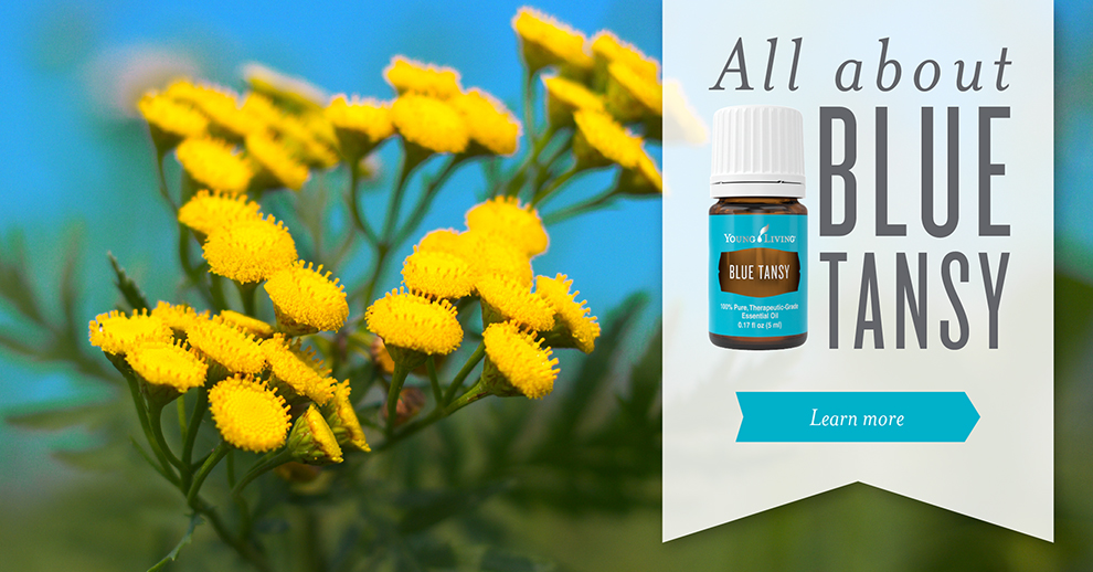 Blue Tansy essential oil infographic about essential oil benefits and uses