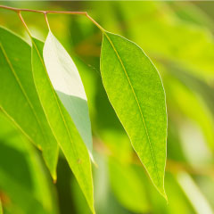 How to use Young Living's three Eucalyptus essential oils