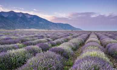 How essential oils are made