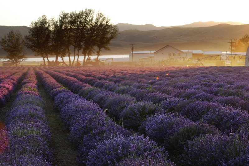 lavender field with early morning mist