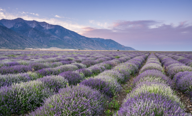 Young Living Essential oils lavender farms