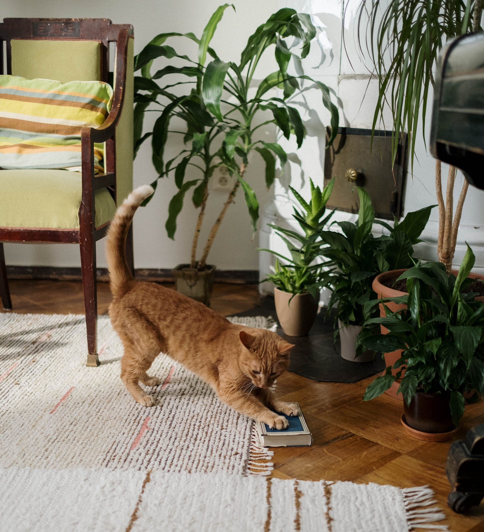 Cat playing - Young Living Lavender Life Blog